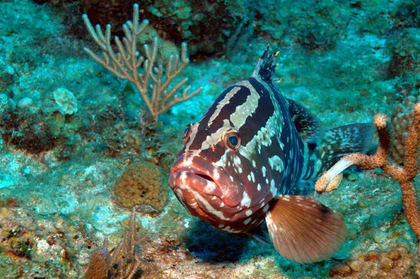 French Cay, French Cay,Turks- und Caicosinseln,Nassau Zackenbarsch