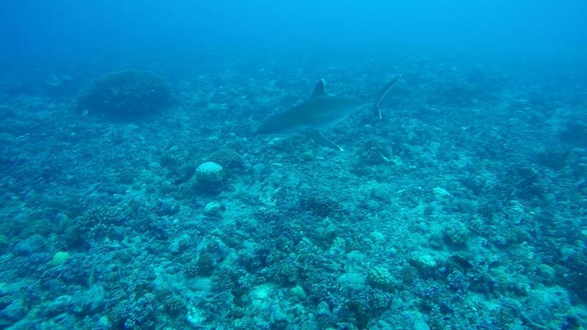Silberspitzenhaie in Avatoru, The Six Passengers Diving Center, Rangiroa, Französisch-Polynesien