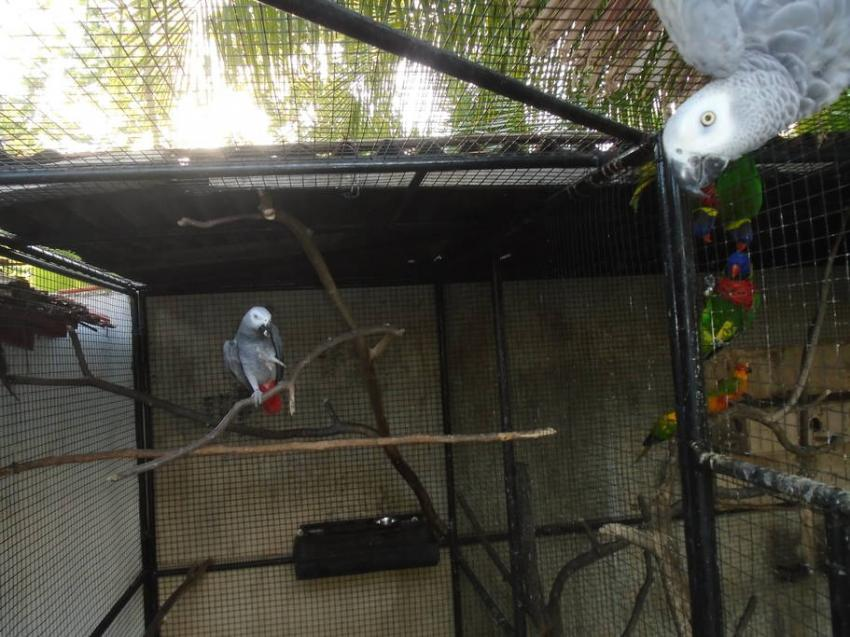 Graupapagei, Graupapagei, Parrot Resort Moalboal, Philippinen