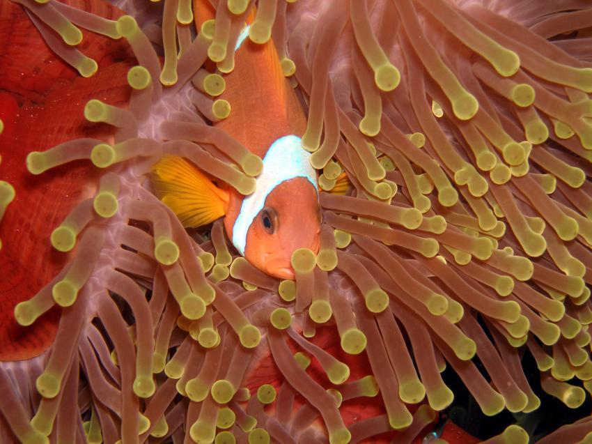St. John´s Safari, St. John´s Reef,Ägypten,Anemonenfisch,clownfisch,nemo,anemone