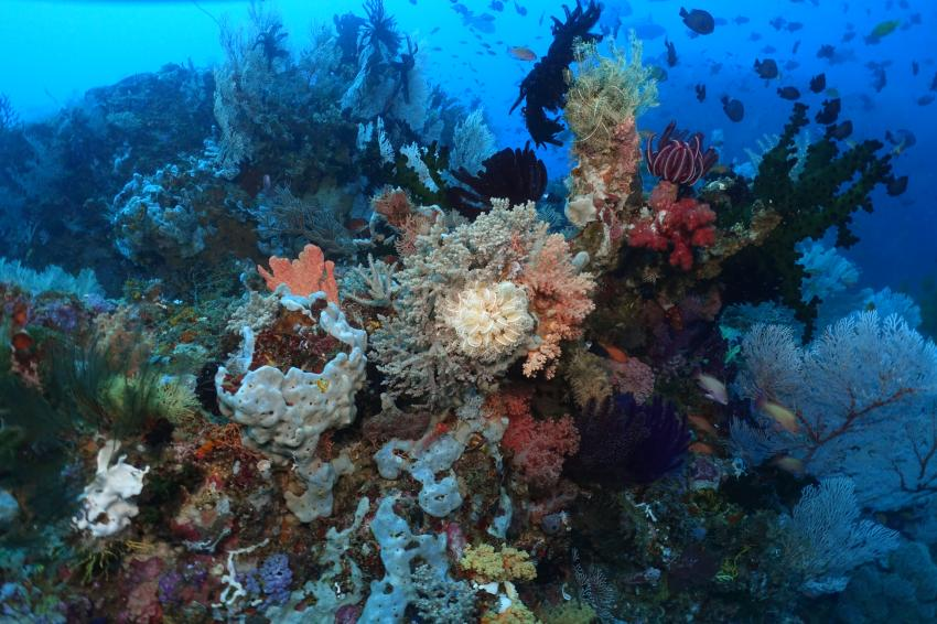 Korallenriff Tompotika, Korallen, Korallenriff, Riffe, Tompotika, Tompotika Dive Lodge, Indonesien, Sulawesi