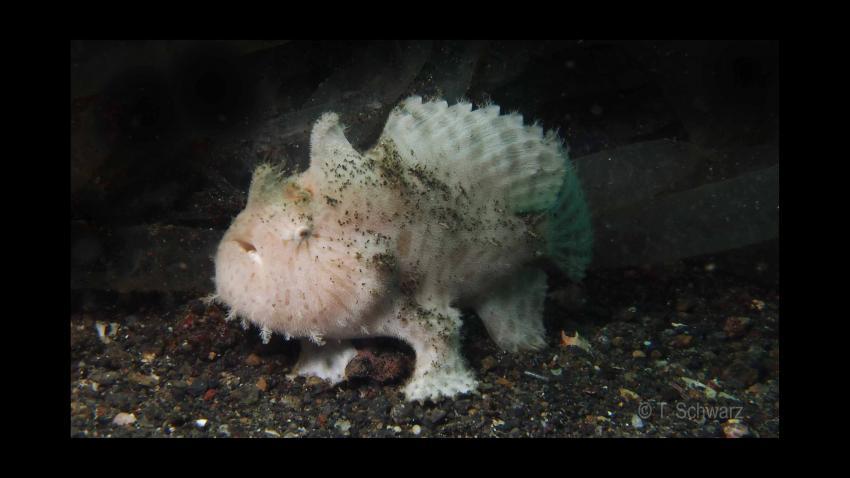 Lembeh September 2012 - Frogfish-Mania