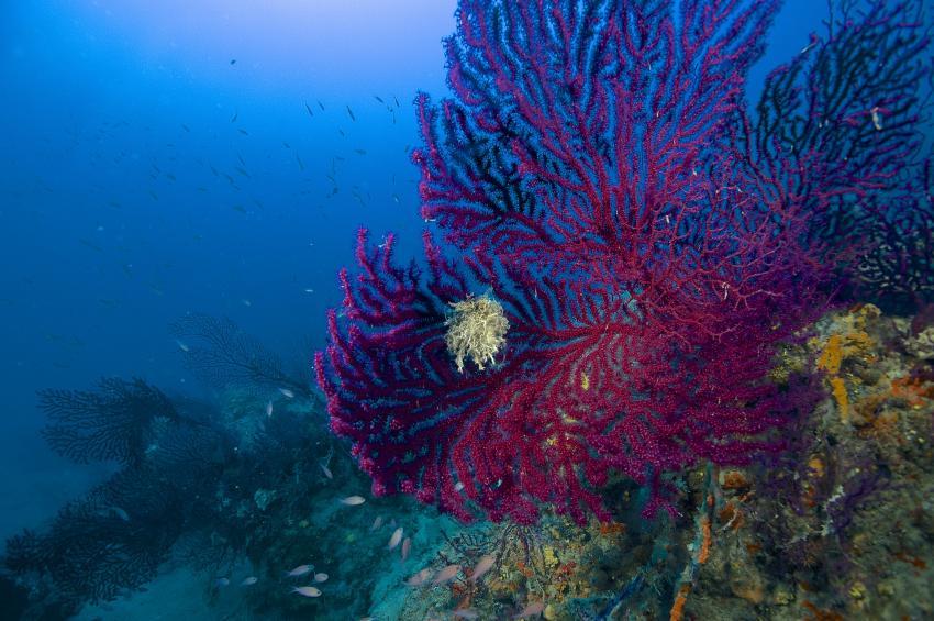 Rote Gorgonien, Rote Gorgonie, Spiro Sub Diving Elba, Marina di Campo (Elba), Italien, Elba