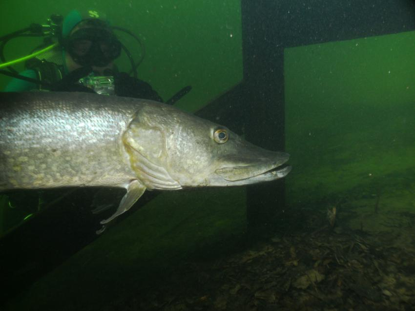 Viel.., weisse kreben, aber gröBe fisch, weis die nahme nicht in Deutsch, Tynaarlo,Niederlande