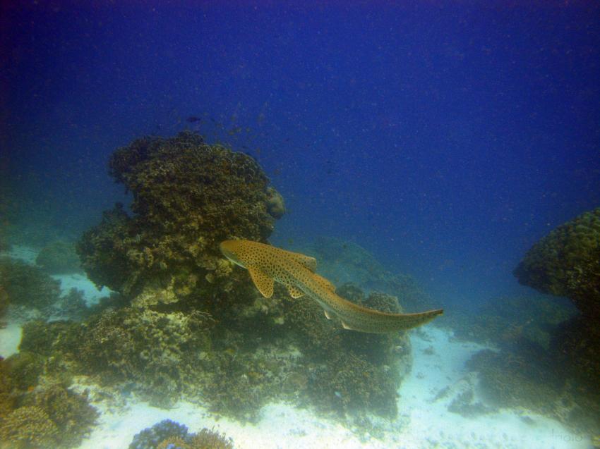 Leopardenhai - North Point, Leopardenhai, North Point, Sea Turtle Divers - Khao Lak, Thailand, Andamanensee