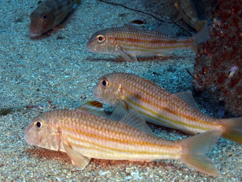 Madeira - Atalaia Diving Center, Madeira allgemein,Portugal,Gestreifte,Meerbarbe