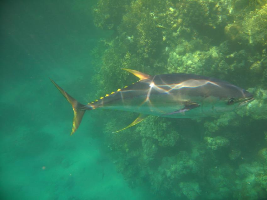 großer Thunfisch am Hausriff