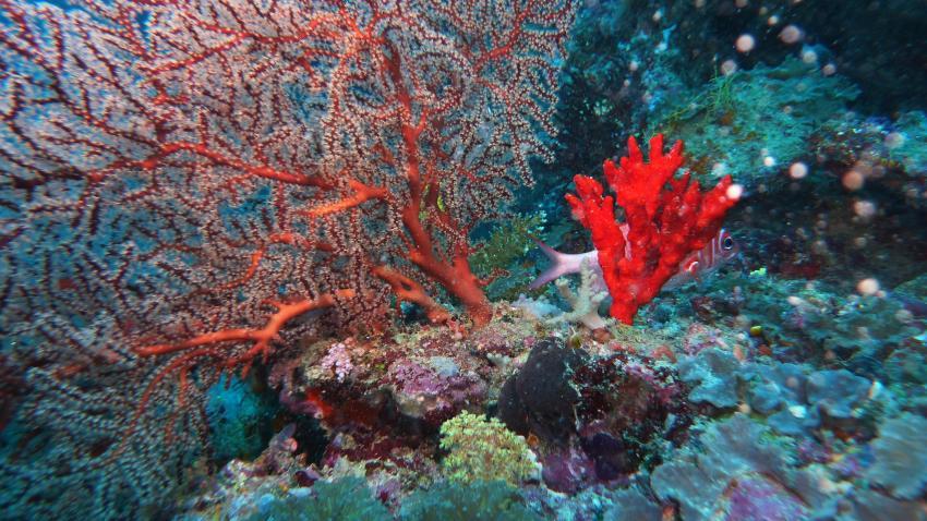 Rote Korallen
