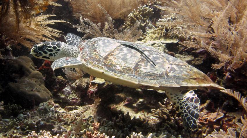 Nord-Sulawesi - Bunaken: Turtle