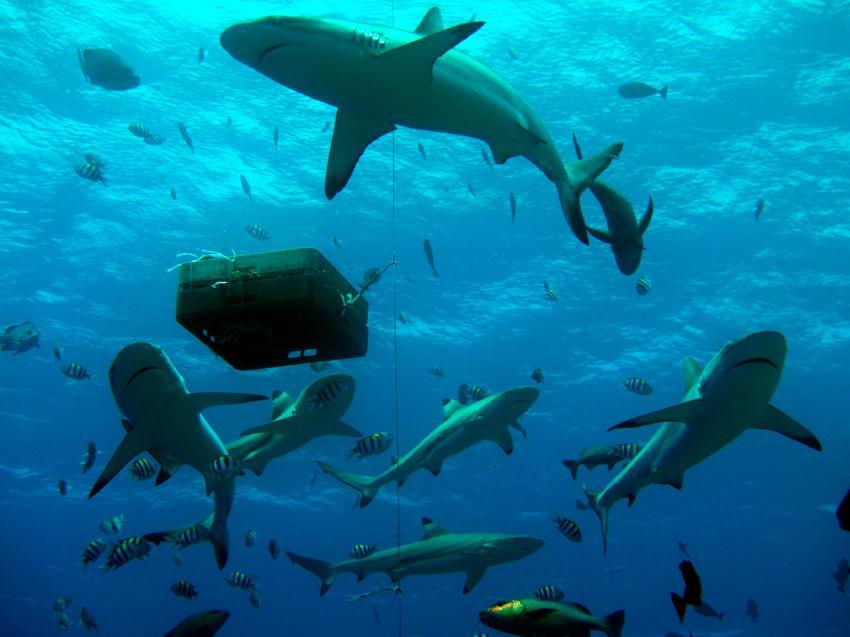 Angefütterte Haie