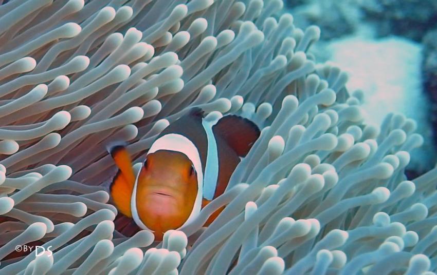 Best of Daniel Sasse, Ao Nang,Koh Phi Phi,Thailand,Nemo,Amphiprion Occelaris