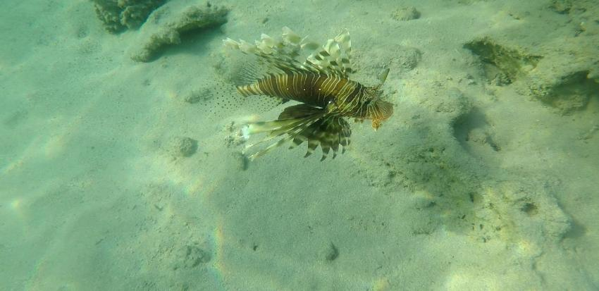 Common Lionfish, Coraya Divers, Coraya Beach, Marsa Alam, Ägypten, Marsa Alam und südlich