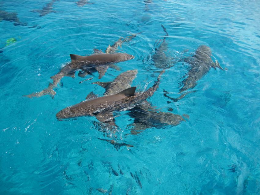 Sharks, Tiger Beach,Bahamas,Hai,Tigerhaie,Wasseroberfläche