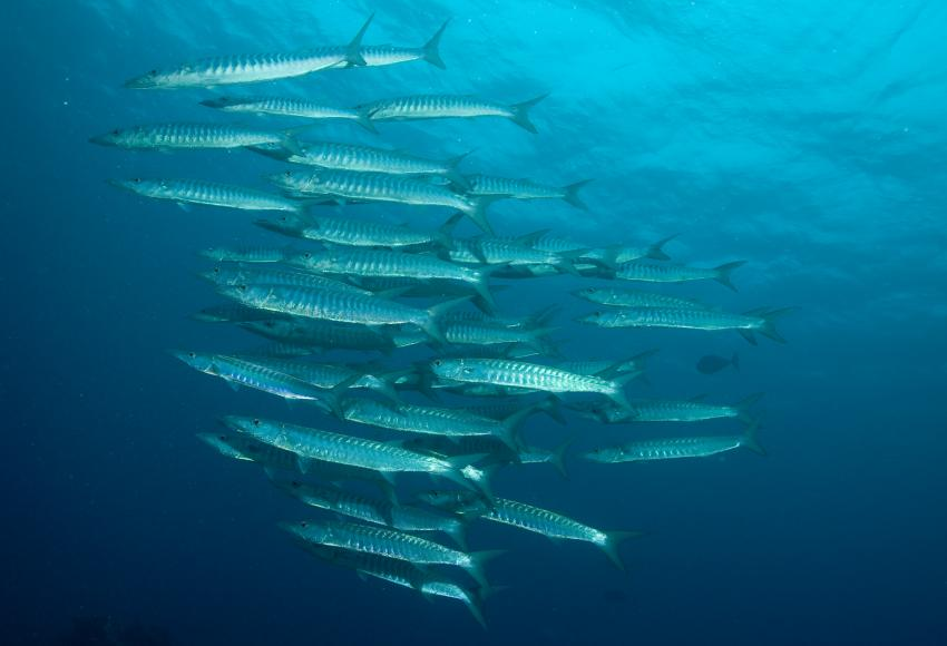 SY Siren Tauchsafari südliche Atolle, Tauchsafari südliche Atolle,Malediven,Barakudas,Schwarm