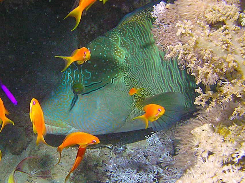 Hausriff Baron, Sharm El Sheikh Hotel Baron Hausriff,Ägypten,Napoleon-Lippfisch