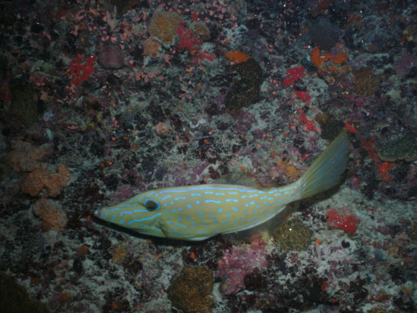 Fesdu Hausriff - Night Dive, Fesdu Hausriff,Malediven