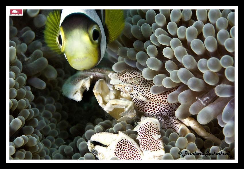 Bilder aus Selayar, Sued Sulawesi,Selayar,Indonesien,Anemonenfisch,Clownfisch,Anemone