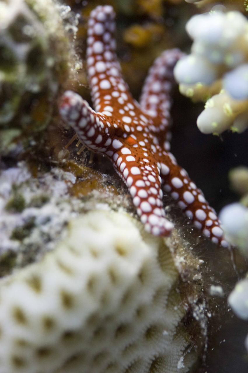 Jackson Reef, Locals Sharm el Sheick,Ägypten