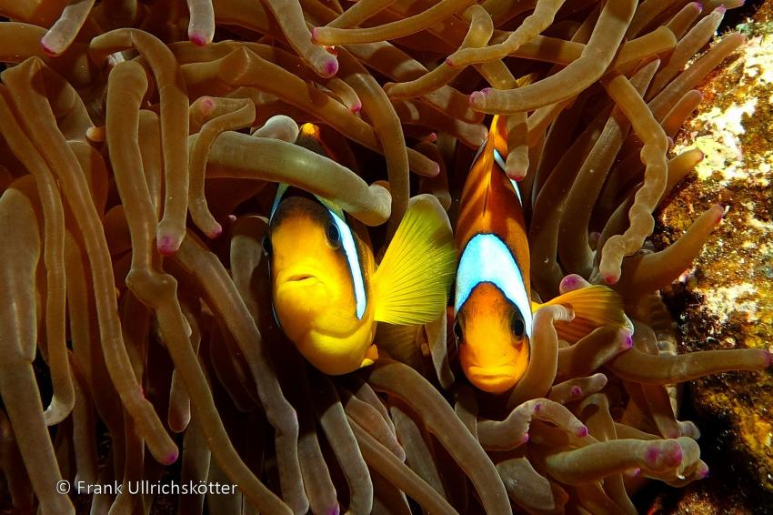 Marsa Alam & Elphinstone, Marsa Alarm,Ägypten,Rotmeer-Anemonenfische (Happy Life HR)
