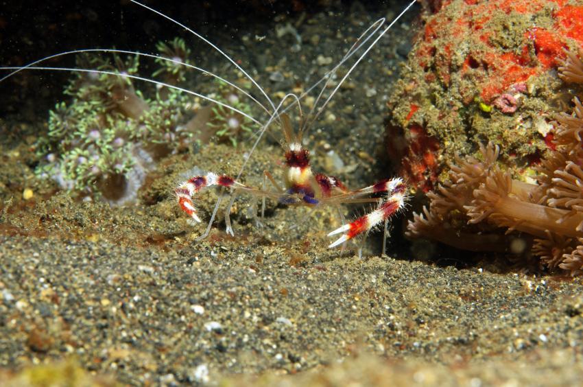 diverse Tauchplätze Juni/Juli 2009, Lembeh Strait,Indonesien,Scherengarnele,Gebänderte Scherengarnele