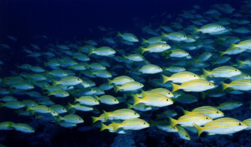 Insel Mahé, Mahé,Seychellen,Schwarm Süsslippen