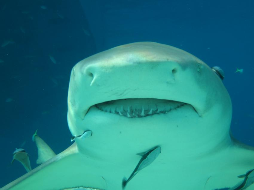 Sharks, Tiger Beach,Bahamas,Hai,Tigerhai,Maul offen