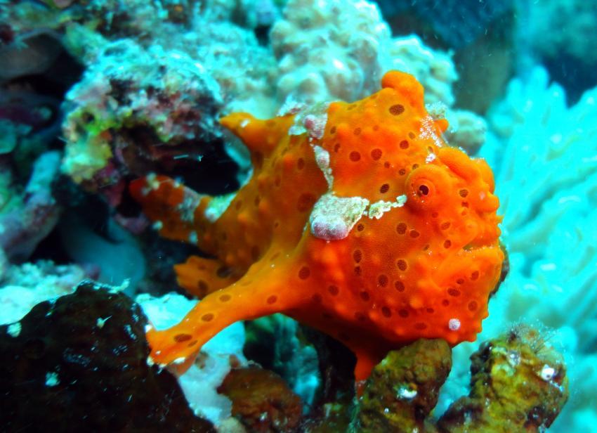 Tauchgänge bei Tag und bei Nacht, Bitoun Beach Resort Hausriff,Philippinen,Anglerfisch,Frogfisch,Antennariidae