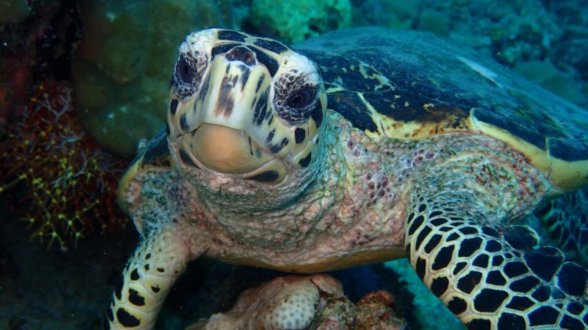 Neurierige Schildkröte, DivePoint Meedhupparu, Malediven