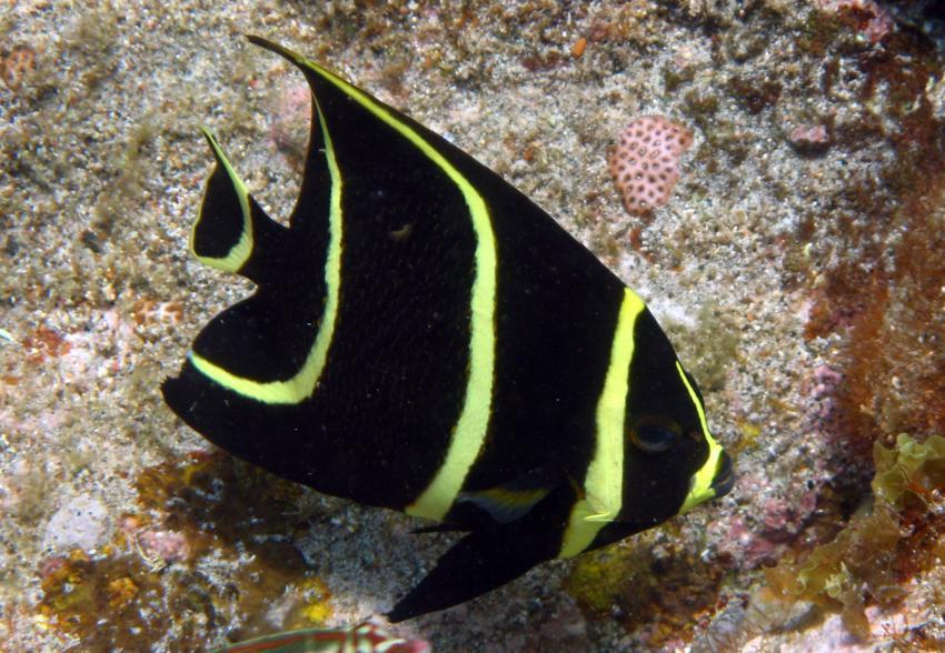 rund um West Punt, West Punt,Curaçao,Niederländische Antillen,Franzosen-Kaiserfisch juvenil