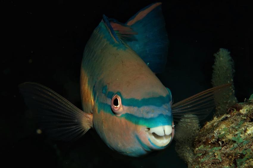 Papageienfisch, Villa Mango Curacao Dive Center, Willemstad, Niederländische Antillen, Curaçao