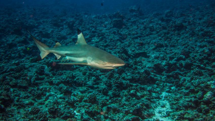 Bora Bora 05.2013, TOP-Dive Center Bora Bora,Französisch-Polynesien,Riffhai,Hai,Schwarzspitzenriffhai