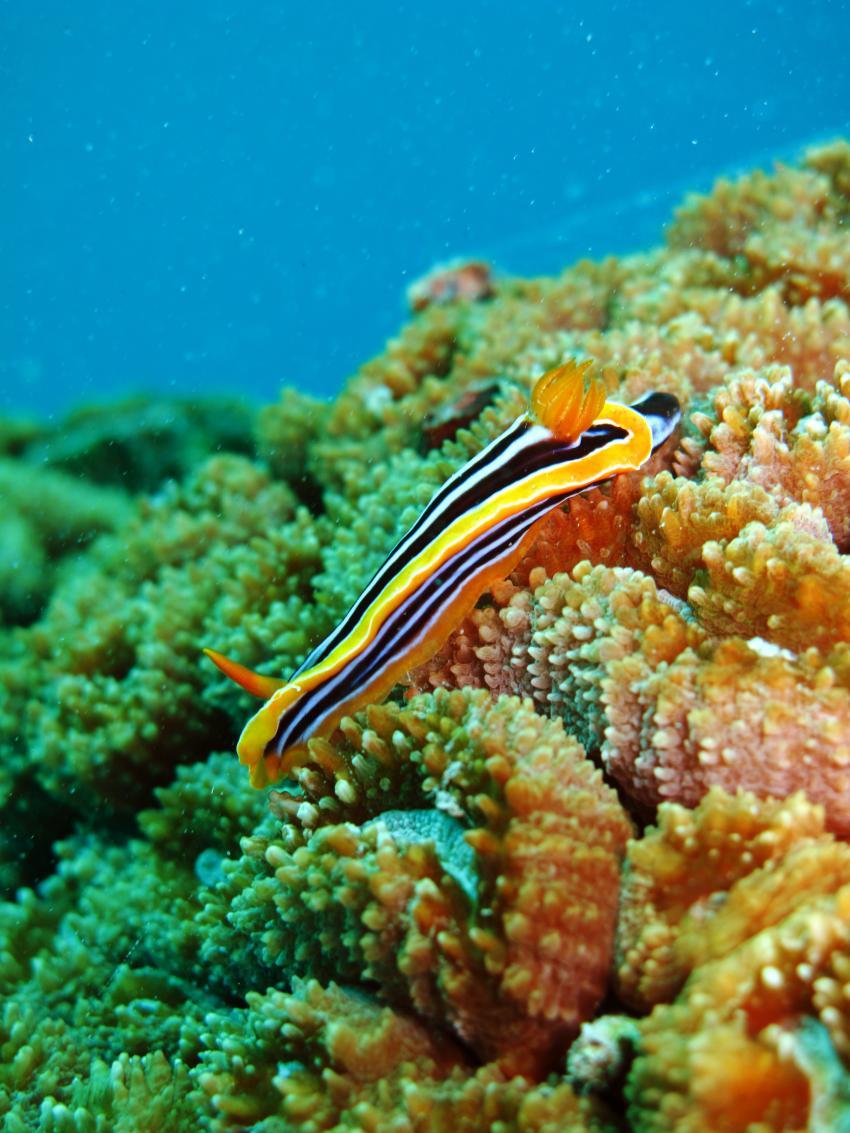 Kleines aber Feines am Hausriff der Freedom Divers in Safaga, Hausriff Freedom-Divers,Ägypten