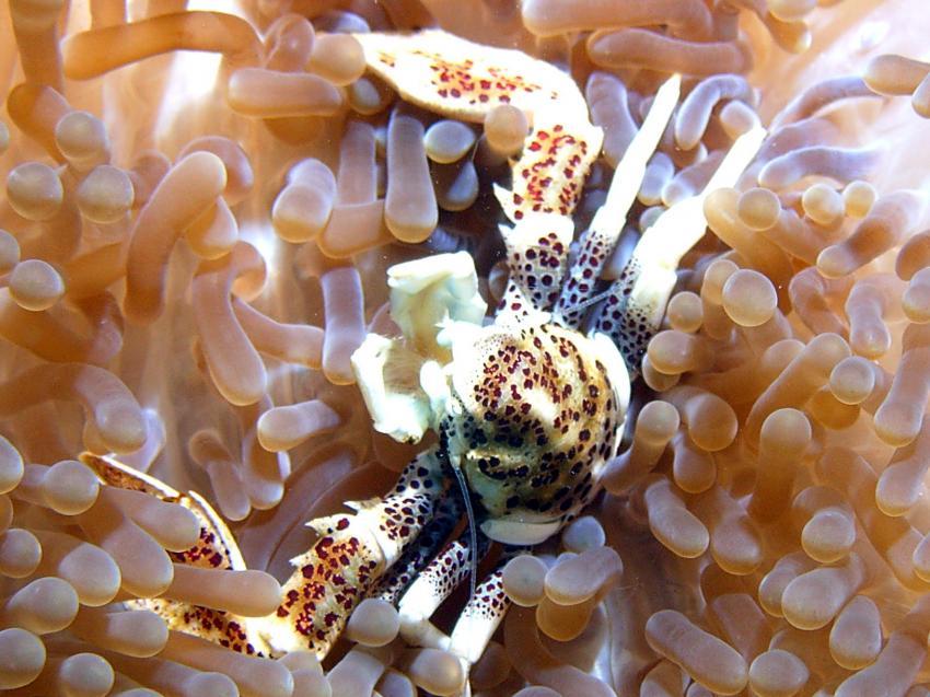 Siquijor, Siquijor,Philippinen,Krabbe