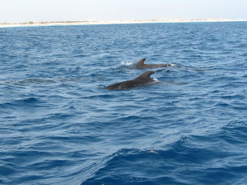 Sal / ScubaCaribe, Insel Sal,St. Maria,Kap Verde,Grindwale,an Oberfläche