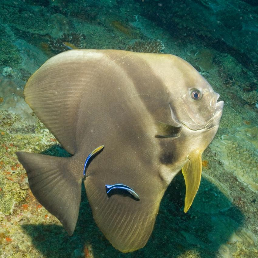 SY Siren Tauchsafari südliche Atolle, Tauchsafari südliche Atolle,Malediven,Fledermausfisch,Putzerfische