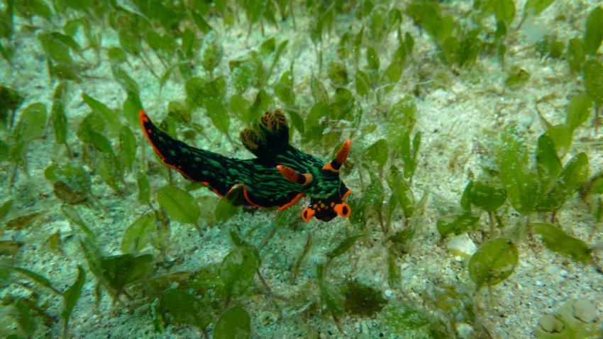 Dive Hub, Dive-Philippinen,Philippinen,Prachtsternschnecke,Nacktschnecke,grün