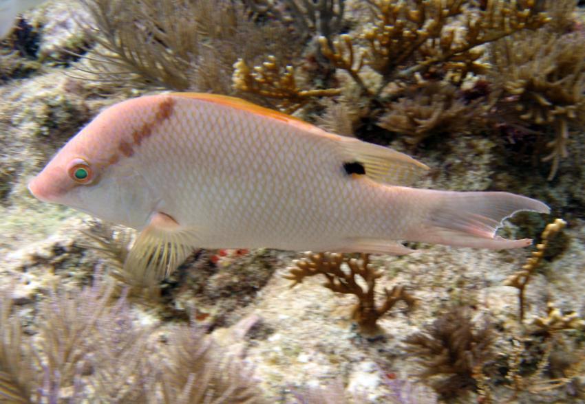rund um Key Largo, Key Largo,Florida,USA,Eber-Lippfisch