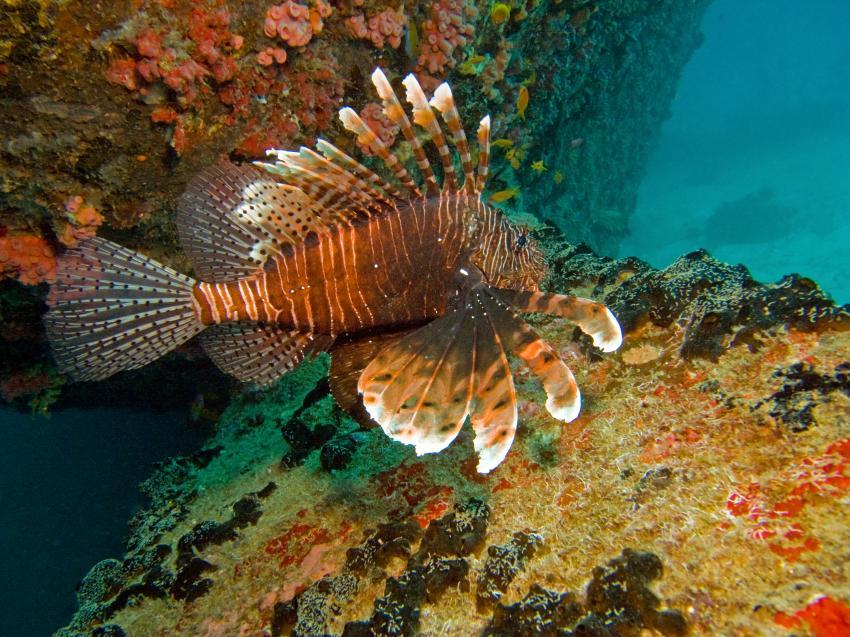 Kudimaa Wrack, Machchafushi,Ari Atoll,Malediven,Skorpionsfische,Rotfeuerfisch