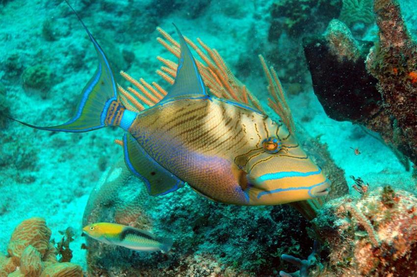 French Cay, French Cay,Turks- und Caicosinseln,Koenigin-Drueckerfisch,drückerfisch