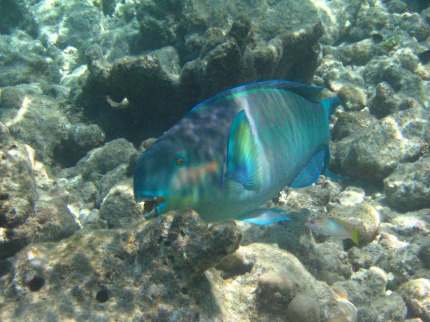 Royal Island (Baa Atoll), Royal Island,Malediven,Papageifisch