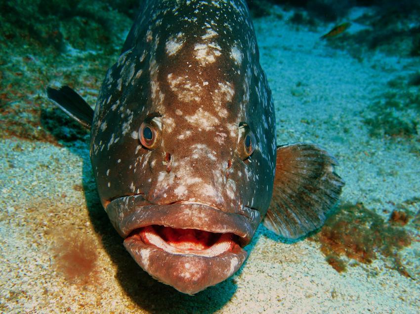 Zackenbarsch, Wahoo Diving, Santa Maria, Azoren, Portugal, Azoren
