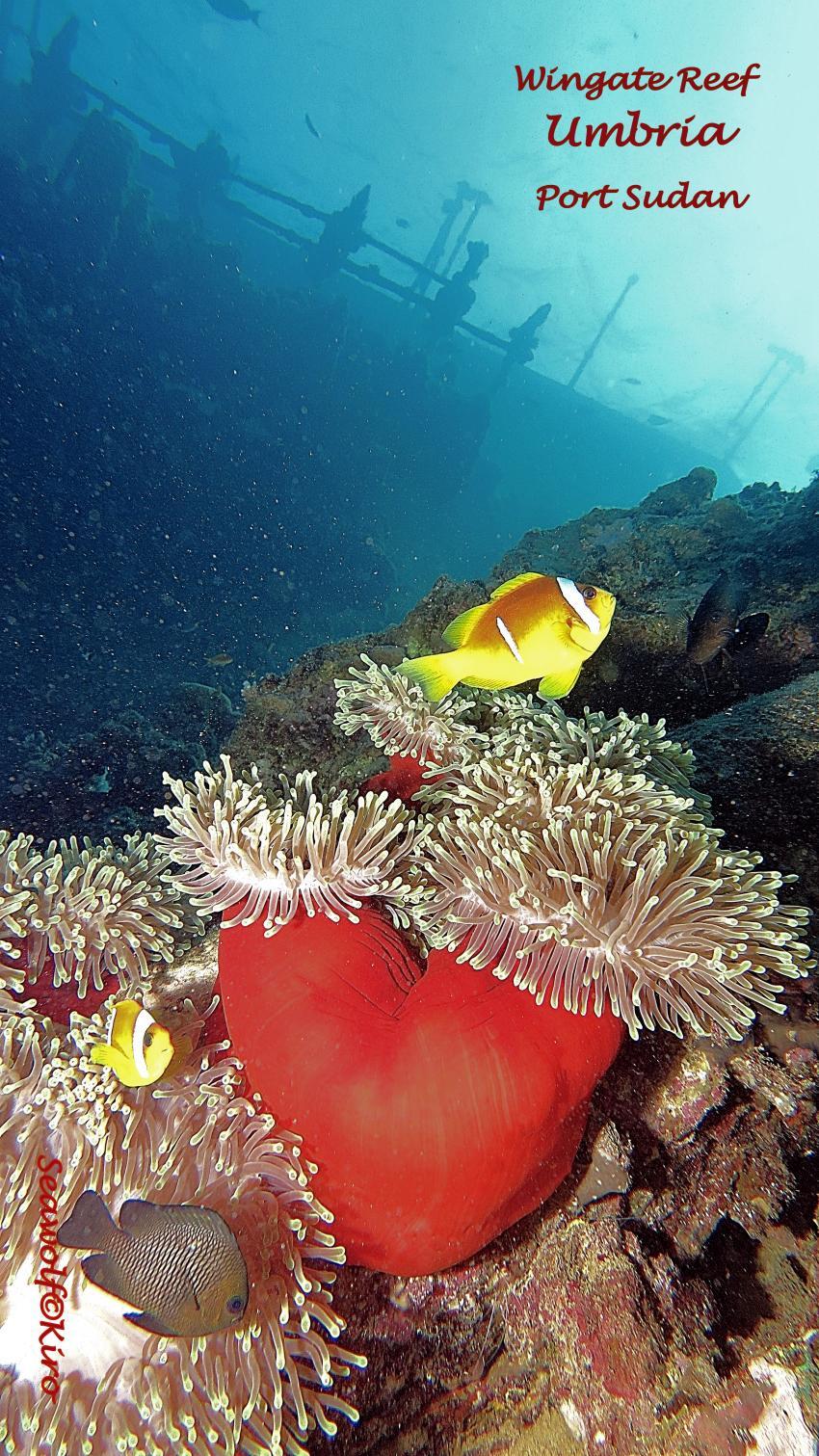 Umbria, Umbria Wrack Sudan Port Sudan Seawolf Diving Safari Dominator Hans Hass, Umbria - Wingate Reef, Sudan