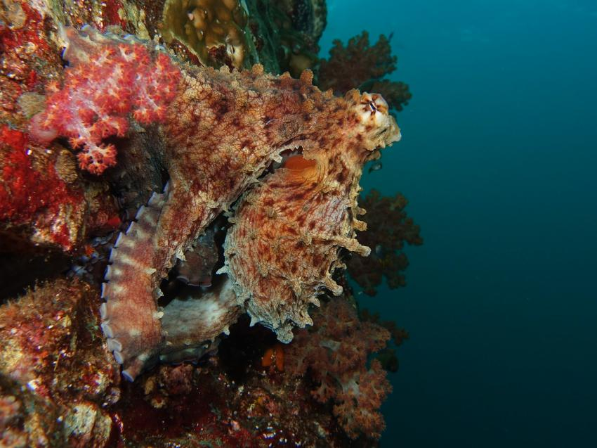 Miss Moon, Day Octopus, AIDC Andaman International Dive Center, Ranong, Thailand, Andamanensee