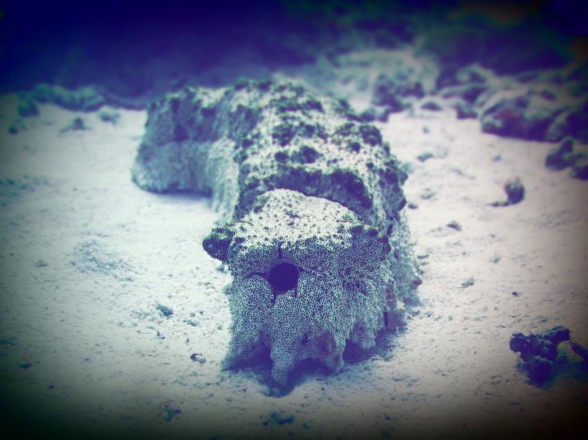 Apo Reef; Seegurke, Apo Reef, Pandan Island, Sablayan, Philippinen
