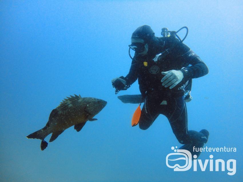 Curious Grouper, Fuerteventura Diving, Esquinzo, Spanien, Kanaren (Kanarische Inseln)
