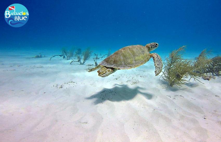 Green Turtle © Barbados Blue, Barbados Blue Water Sports, Barbados