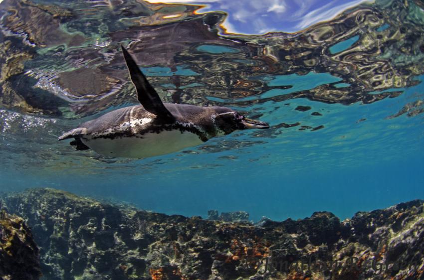 Galapagos Pinguin in Punte Vicente Roca