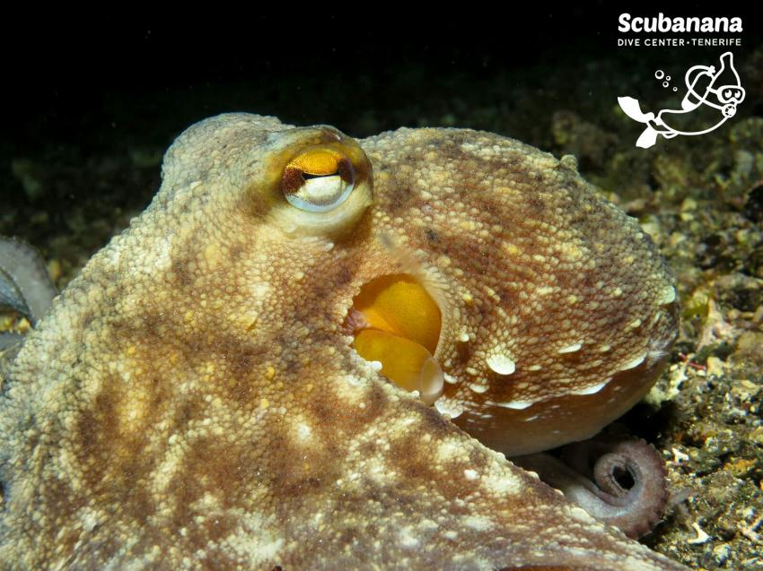 Oktopus ganz dicht, Radazul, Scubanana, Radazul, Teneriffa, Kanarische Insels, Scubanana Dive Center, Teneriffa, Spanien, Kanaren (Kanarische Inseln)