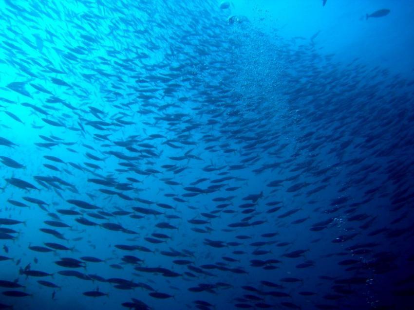 Vilu Reef, Vilu Reef,Malediven,schwarm,fischschwarm,gegenlicht