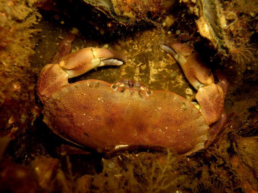 Scharendike Aquarium, Scharendijke,Grevelinger Meer,Niederlande,Scharendike Aquarium,krabbe,braun